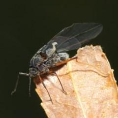 Tuberolachnus salignus at Jerrabomberra Wetlands - 17 May 2019
