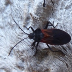 Oncopeltus (Oncopeltus) sordidus (Milk vine bug) at ANBG - 22 May 2019 by Christine