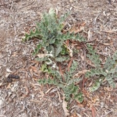 Onopordum acanthium (Scotch Thistle) at Brindabella National Park - 5 Mar 2019 by waltraud
