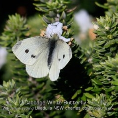 Pieris rapae (Cabbage White) at Coomee Nulunga Cultural Walking Track - 21 May 2019 by Charles Dove