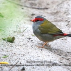 Neochmia temporalis (Red-browed Finch) at South Pacific Heathland Reserve - 21 May 2019 by CharlesDove