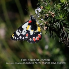 Delias aganippe (Red-spotted Jezebel) at Coomee Nulunga Cultural Walking Track - 24 May 2019 by Charles Dove