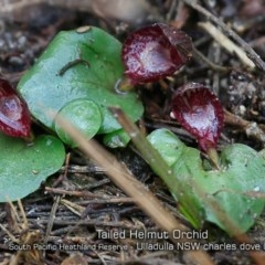 Corybas undulatus (Tailed Helmet Orchid) at South Pacific Heathland Reserve - 21 May 2019 by CharlesDove