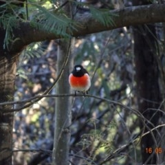 Petroica boodang (Scarlet Robin) at Red Hill Nature Reserve - 16 May 2019 by TomT