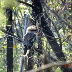 Dacelo novaeguineae (Laughing Kookaburra) at Red Hill Nature Reserve - 16 May 2019 by TomT