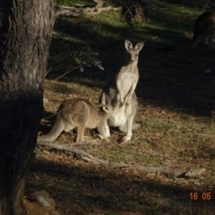 Macropus giganteus (Eastern Grey Kangaroo) at Red Hill Nature Reserve - 26 May 2019 by TomT