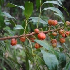Synoum glandulosum subsp. glandulosum (Scentless Rosewood) at Booderee National Park - 17 Jun 2016 by NicholasdeJong