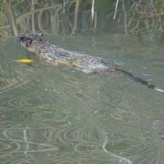 Hydromys chrysogaster at Jerrabomberra Wetlands - 24 May 2019