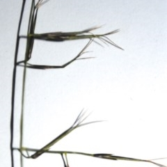 Aristida vagans (Three-awned Speargrass) at One Track For All - 31 Jan 2015 by Nicholas de Jong