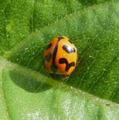 Coccinella transversalis (Transverse Lady Beetle) at Sanctuary Point, NSW - 7 Nov 2018 by christinemrigg