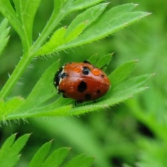 Hippodamia variegata (Spotted Amber Ladybird) at Sanctuary Point, NSW - 14 Nov 2008 by christinemrigg