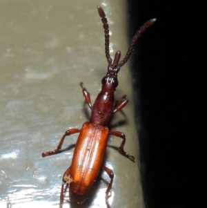Cordus sp. (genus) at ANBG - 22 May 2019