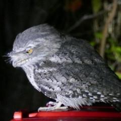 Podargus strigoides (Tawny Frogmouth) at Rivendell Mimosa Park Road - 22 May 2019 by vivdavo