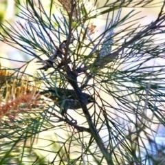 Caligavis chrysops (Yellow-faced Honeyeater) at Moruya, NSW - 26 May 2019 by LisaH
