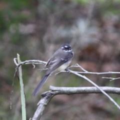 Rhipidura albiscapa (Grey Fantail) at Moruya, NSW - 25 May 2019 by LisaH