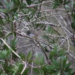 Acanthiza pusilla (Brown Thornbill) at Moruya, NSW - 27 May 2019 by LisaH