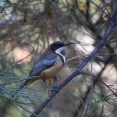 Acanthorhynchus tenuirostris (Eastern Spinebill) at Moruya, NSW - 25 May 2019 by LisaH