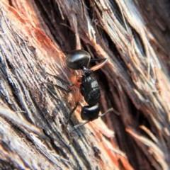 Polyrhachis sp. (genus) (A spiny ant) at Aranda Bushland - 2 Mar 2019 by CathB