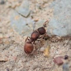 Meranoplus sp. (genus) (Shield Ant) at Aranda Bushland - 4 Apr 2019 by CathB
