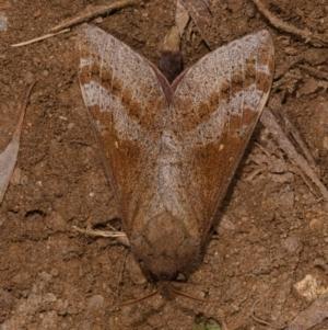 Oxycanus sp. (genus) at Yadboro State Forest - 24 May 2019