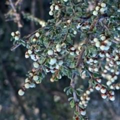 Cryptandra amara (Bitter cryptandra) at Percival Hill - 26 May 2019 by gavinlongmuir