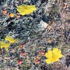 Hibbertia obtusifolia (Grey Guinea-flower) at Percival Hill - 26 May 2019 by gavinlongmuir