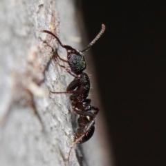 Rhytidoponera metallica at ANBG - 28 May 2019
