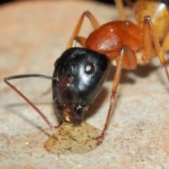 Camponotus consobrinus (Banded sugar ant) at Evatt, ACT - 26 May 2019 by TimL