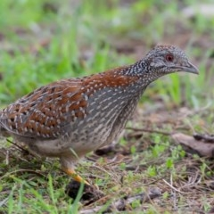 Turnix varius (Painted Buttonquail) at Mount Ainslie - 6 Sep 2015 by rawshorty