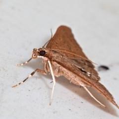 Endosimilis stilbealis (TBC) at Yadboro State Forest - 23 May 2019 by kdm
