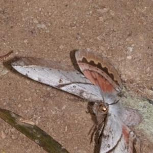 Chelepteryx chalepteryx at Yadboro State Forest - 24 May 2019