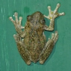 Litoria peronii (Peron's Tree Frog) at Woollamia, NSW - 13 Jul 2012 by christinemrigg