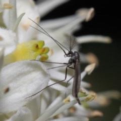 Chironomidae sp. (family) (Midge) at ANBG - 28 May 2019 by TimL