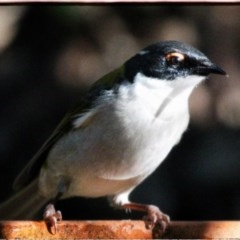 Melithreptus lunatus (White-naped Honeyeater) at FS Private Property - 30 May 2019 by Stewart
