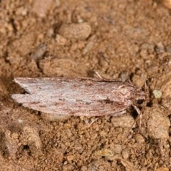 Unidentified Pyralidae and Crambidae (TBC) at Yadboro State Forest - 23 May 2019 by kdm