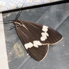 Nyctemera amicus (Senecio or Magpie moth) at Higgins, ACT - 27 Apr 2019 by AlisonMilton