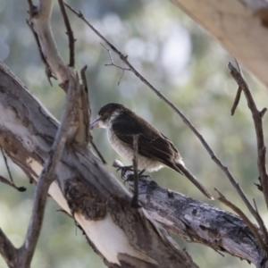 Cracticus torquatus at Michelago, NSW - 12 May 2019