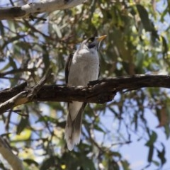 Manorina melanocephala (Noisy Miner) at Illilanga & Baroona - 11 Jan 2019 by Illilanga