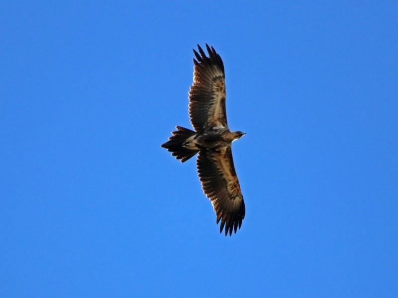Aquila audax at Jerrabomberra Wetlands - 30 May 2019