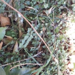 Asplenium flabellifolium (Necklace fern) at Robertson, NSW - 31 May 2019 by KarenG