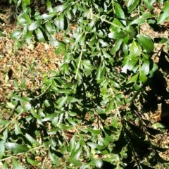 Melicytus dentatus (Tree Violet) at Robertson, NSW - 31 May 2019 by KarenG