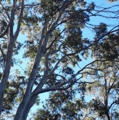 Dacelo novaeguineae (Laughing Kookaburra) at Mittagong, NSW - 14 May 2019 by KarenG