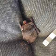 Nyctophilus geoffroyi (Lesser Long-eared Bat) at Wolumla, NSW - 31 May 2019 by PatriciaDaly