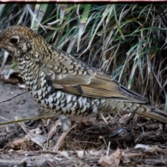 Zoothera lunulata (Bassian Thrush) at FS Private Property - 30 May 2019 by Stewart