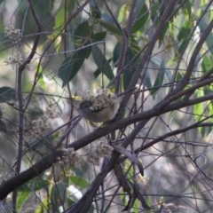 Acanthiza pusilla (Brown Thornbill) at Red Hill Nature Reserve - 31 May 2019 by LisaH