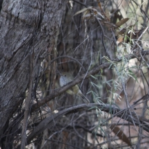 Acanthiza pusilla at Red Hill Nature Reserve - 31 May 2019
