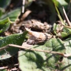 Hellula hydralis (Cabbage Centre Moth) at Hughes, ACT - 31 May 2019 by LisaH