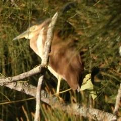 Nycticorax caledonicus (Nankeen Night-Heron) at Bawley Point Bushcare - 29 May 2019 by Marg