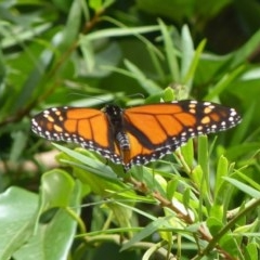 Danaus plexippus (Monarch) at Jervis Bay, JBT - 23 Feb 2019 by christinemrigg