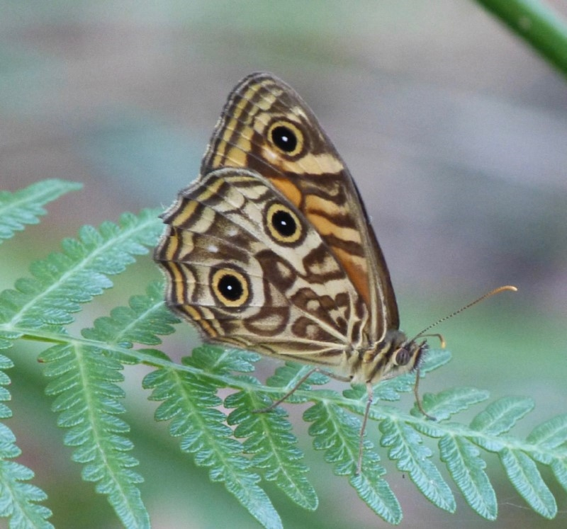 Geitoneura acantha at The Basin Walking Track - 1 May 2015
